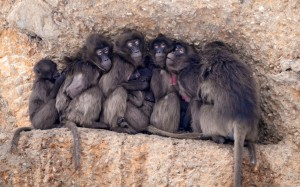 Baboon squized together